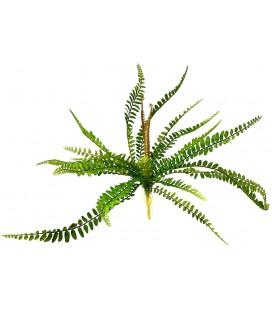 Sword Fern - Polystichum munitum