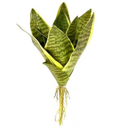 Snake Plant - Laurentii - SM