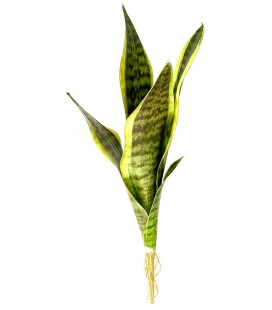 Snake Plant - Laurentii