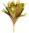 Bromeliad - Royal Pepper