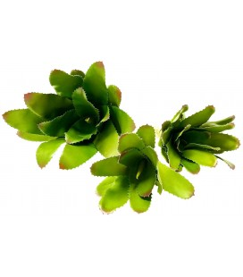 Bromeliad - Selecta